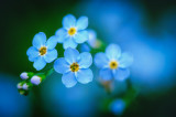 Tiny Forget-me-nots