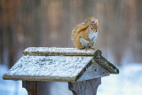 Snow dusted squirrel