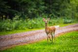here comes Bambi