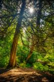Sunstar amongst Cedar trees