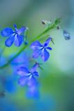 Lobelia, tiny blue