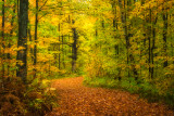 Golden forest path
