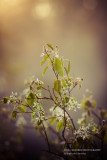 Downy Serviceberry (Amelanchier) blooming