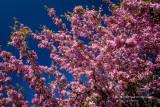Pink Crabapple