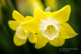 Yellow & white Daffodil