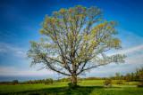 Solitary Oak tree
