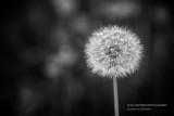 Dandelion in black and white