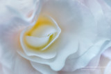 White Begonia swirl