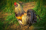 Pretty rooster