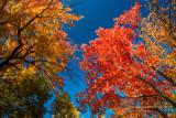 Spectacular maples