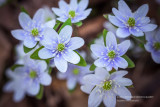 Hepaticas are blooming