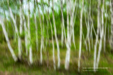 Birch trees abstract