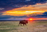 One bison at sunset