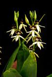 The Genus Epidendrum