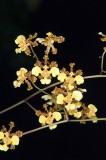 Oncidium Style Orchids