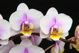 PHALANENOPSIS STYLE ORCHIDS
