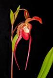 The Genus Phragmipedium