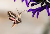 White-Lined Sphnix Moth