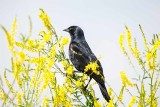 Blackbird, Red-Wing