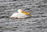 Pelican, White