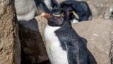 Rockhopper Penguins (VIDEO)