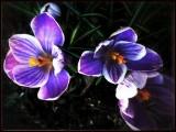 Purple crocus..