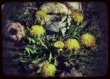 Dandelion group...