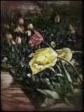 Tulips in my garden....