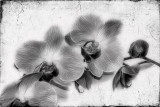 Dramatic Orchids...