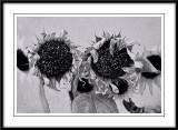 Fading sunflowers...