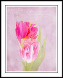 Tulips in pink...