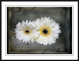Gerbera's in white....