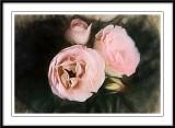 Renaissance Roses...