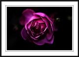 Moody rose...
