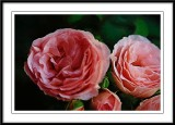 Renaisence Roses...