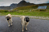 Durmitor Shepherd Dogs in Vodeni Do, Durmitor NP