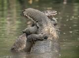 water_monitor_lizard