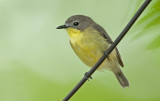 yellow__bellied_gerygone