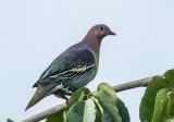 cinnamon_headed_green_pigeon