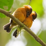 Cinnamon Flycatchers (juv)