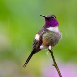 Purple-Throated Woodstar.