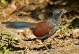 Banded Ground Cuckoo