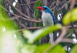 Biak Paradise Kingfisher