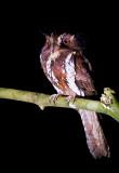 Large Owlet Nightjar