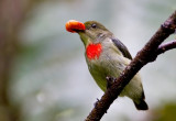 Olive-Crowned Berrypecker.