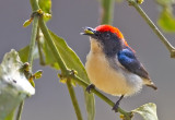 Scarlet-backed Flowerpecker