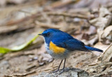 Himalaya Bluetail