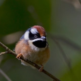 Back-throated Tit