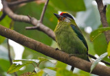 Golden-fronted Barbet