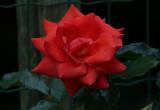 Rose ,,,